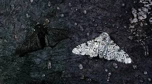 peppered moth from Google Images